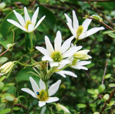 Clematis paniculata. The bush clematis is the showiest of our native clematis and will spill out its exquisite flowers ...