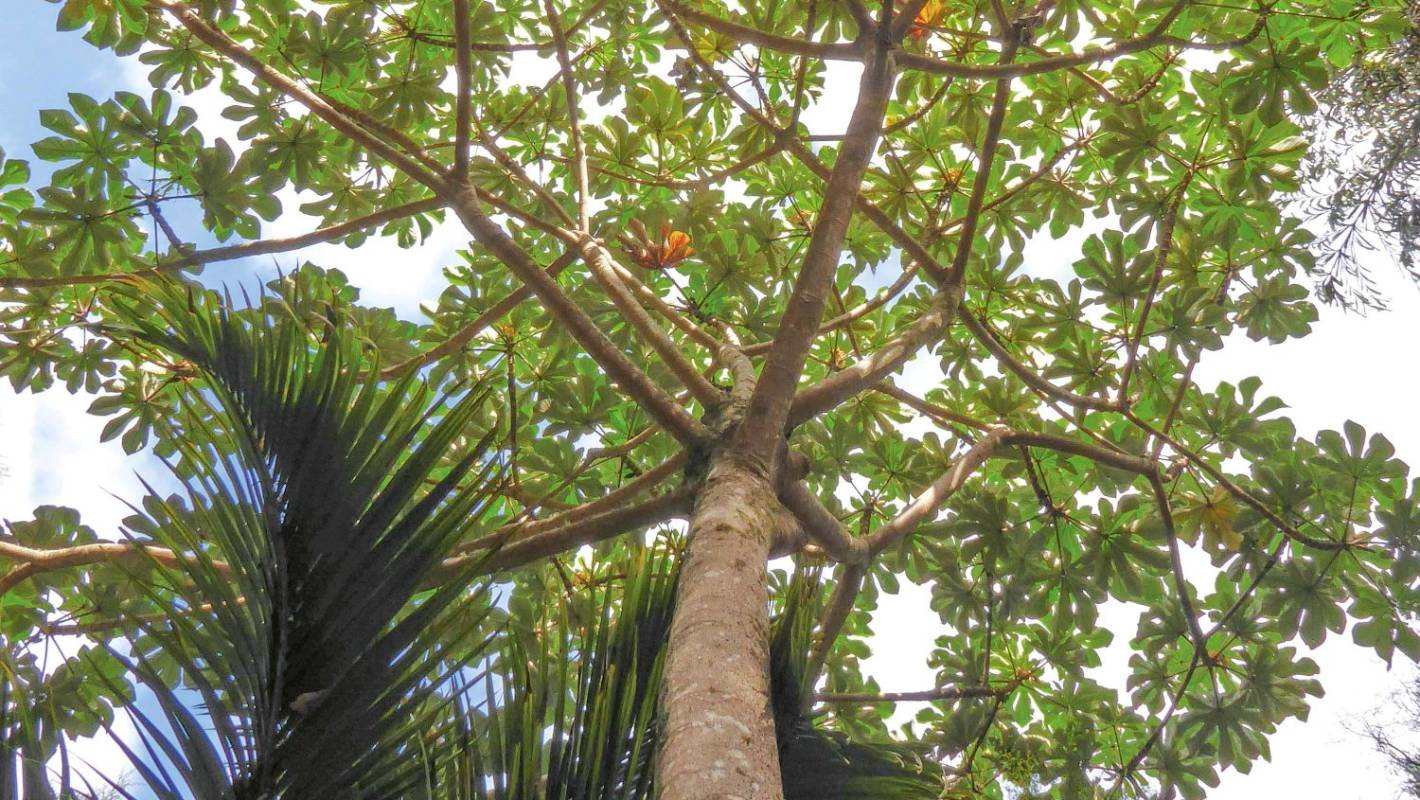 Snakewood: a tropical rainforest tree to grow in New ...