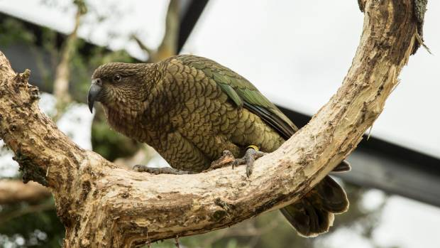 The new kea enclosure at Natureland was opened to the public on Saturday.
