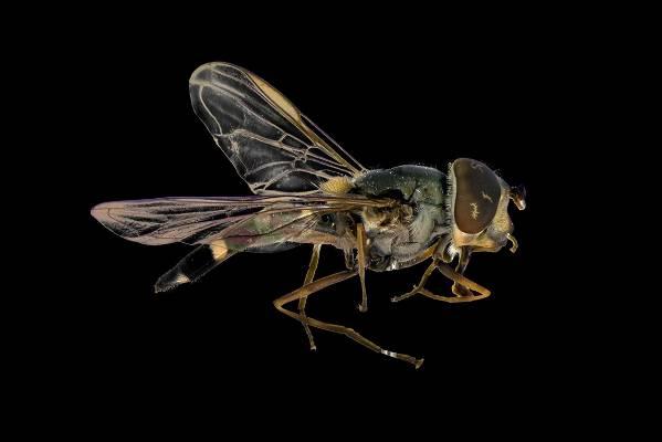 Hover fly (Melangyna novaezelandiae).
