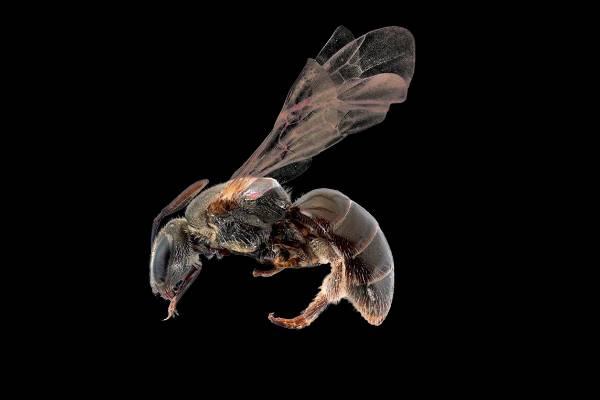 Native bees (Lasioglossum sordidum).