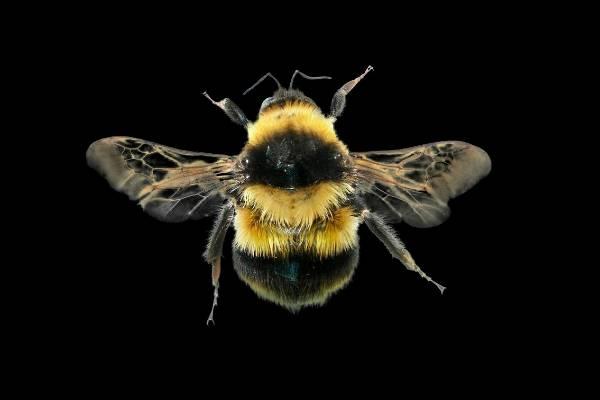 Large garden bumblebee (Bombus ruderatus).