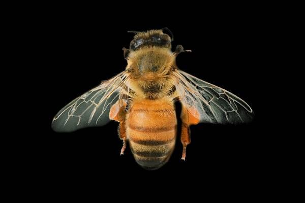 Honeybee (Apis mellifera).
