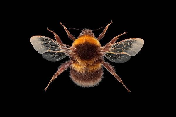 Small garden bumblebee (Bombus hortorum).