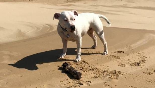 White staffy Peppah with the unexploded WWII ordinance she found in sand dunes at Anna Bay on Saturday.