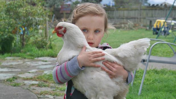 Nugget the chicken gets a cuddle from owner Ayvah Knight-Mackel, 3, who spends hours every day caring for her feathered ...