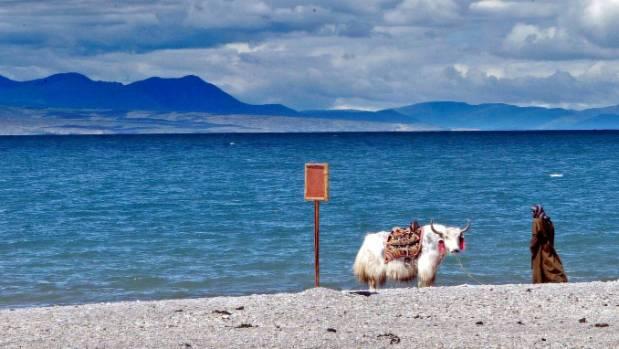 A woman waters a yak near Cona Lake in Amdo county in Tibet.