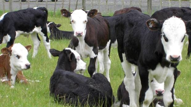 A new dairy-beef programme by AgFirst and Greenlea aims to promote better beef genetics to dairy farmers.