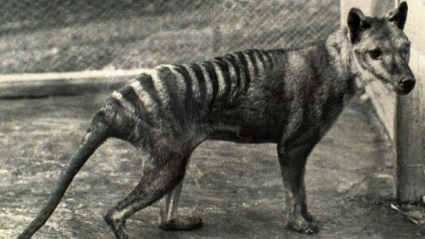 The scientific breakthrough that could bring Tasmanian tiger back to life