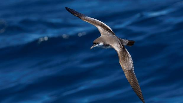 The Buller's Shearwater, known in the United States as the New Zealand Shearwater, breed in the Poor Knights but are ...