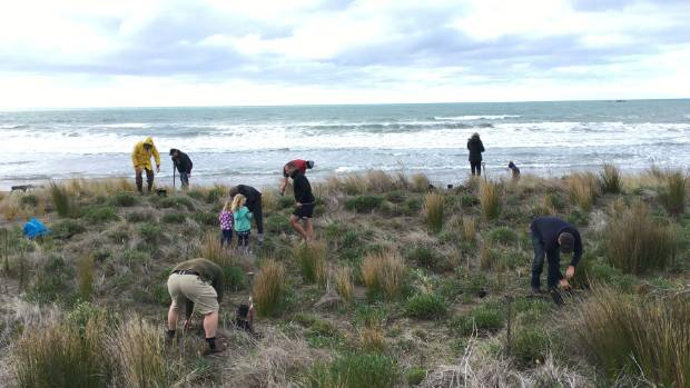 Mass planting of spinifex and pingao in Riversdale dunes on the east coast.