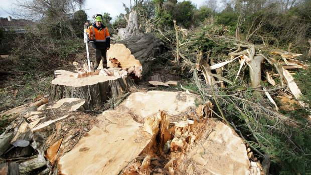 Chris Diack, of Central Southland Logging, with two of the oldest trees in Invercargill city, felled amongst about ...
