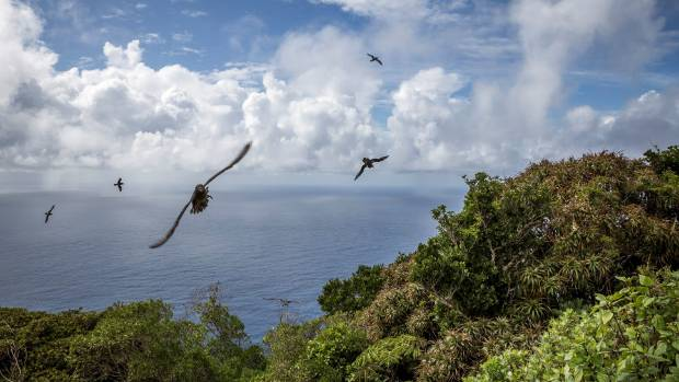 Providence petrels in flight seen from halfway up Mt Gower.