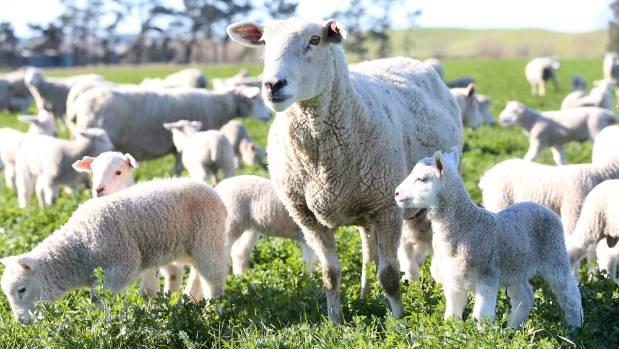 A pen of Ashburton lambs led the prime lamb market, making up to $188.