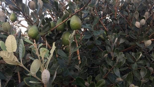 The MPI has lifted its ban on moving feijoa trees in and out of Taranaki.
