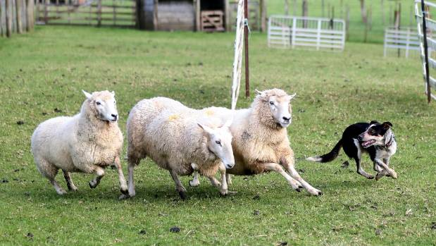 You'll still catch a demonstration of sheep mustering just outside Auckland.