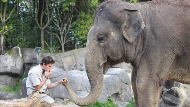 Elephant keeper Joel Milicich with Burma at Auckland Zoo.