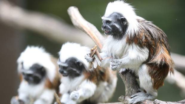 The cheeky cotton top tamarin monkeys are among the cheekiest but certainly not the only animals Auckland has to offer.
