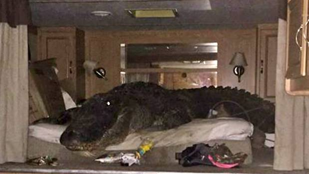 The bed that Big Tex, the largest captured alligator in America, rested in a trailor during the flooding of Hurricane Harvey.