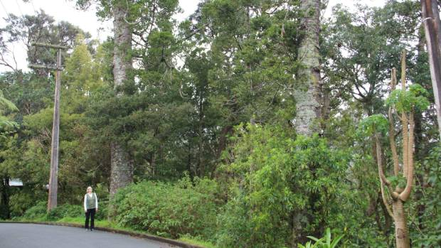 The two matured kauri trees are on a public land reserve on Paturoa Rd in Titirangi.
