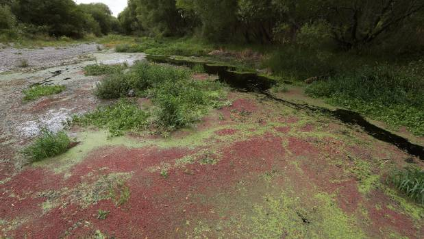 The Selwyn River at the Coes Ford bridge location near Leeston full of river weed and at a low water flow.