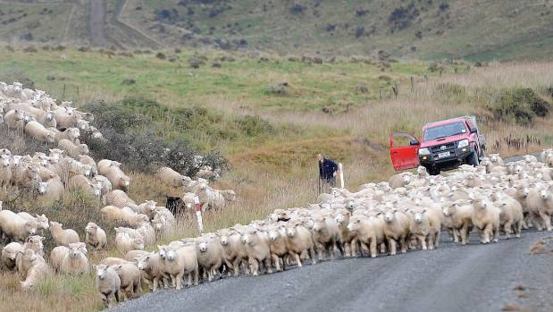 Moving romney ewes from the hills of Landcorp's Haycocks Station at Mavora Lakes for an annual stocktake.