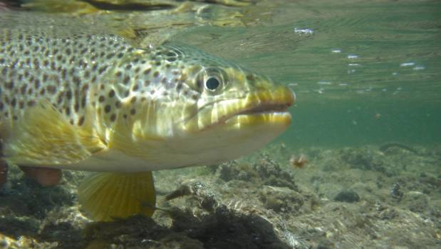 Anglers come to Southland from all over the world to hook a brown trout.