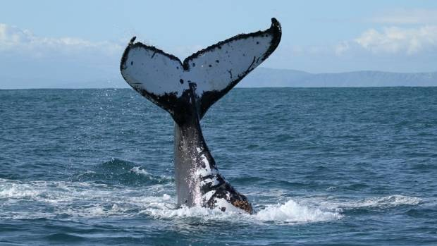 Kaikōura is known as a whale-watching destination.