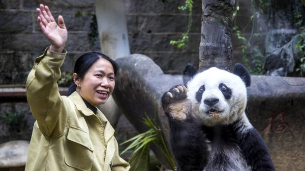 Giant panda Basi imitates her keeper to wave at visitors on her 35th birthday.