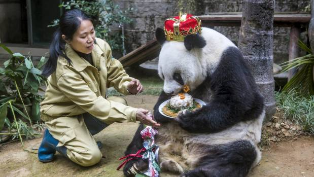 Giant panda Basi eats a cake on her 35th birthday.