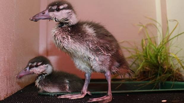 The two whio are believed to be one male and one female. Seen here at 22 days old.