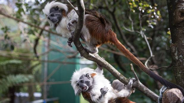 Cotton-top tamarin monkeys at the Brooklands Zoo in New Plymouth.