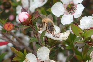 A bee lands on a manuka flower looking for pollen.