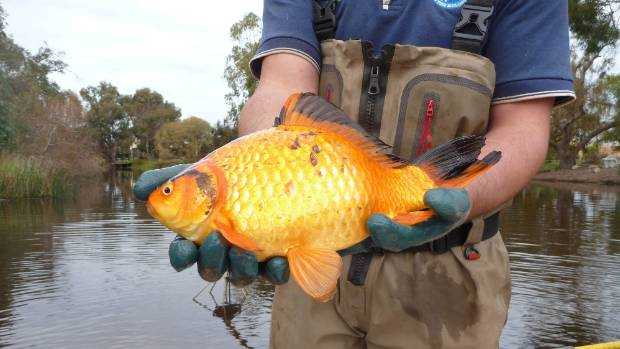 Huge goldfish in australia prompt warnings about flushing for Big gold fish