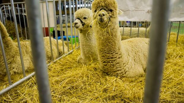 Alpacas, some of almost 340 at the  national show at Manfeild, in Feilding.