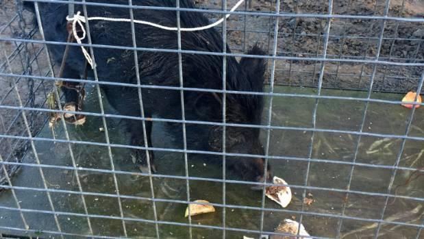 The wild pig that had been wandering around New Plymouth has been caught and will be taken to live on a farm.