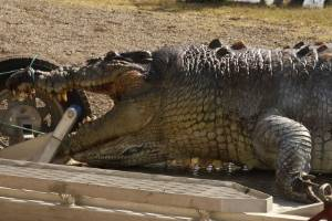 The crocodile could be one of the largest found in the wild in Australia.