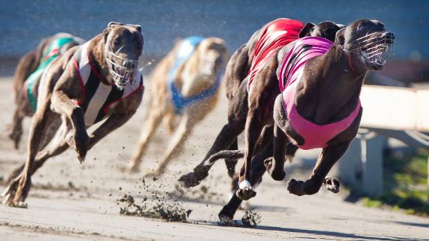 Racing at Manawatu Raceway. In some fields in New Zealand the same owner might have seven of the eight runners.
