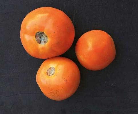 'Chef's Choice Orange': Of the five medium-fruited varieties in the trial, this had the largest and heaviest fruit, ...