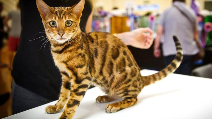 Auckland cat breeder fined for noisy, smelly cats | Stuff co nz