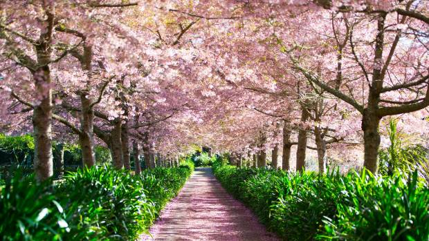 Waikato's first cherry tree festival draws quite the crowd to mark the start of spring (file photo).