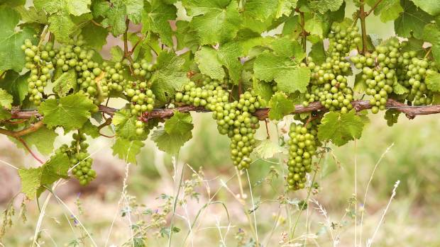 The new technology counts grapes using electronic sensors.