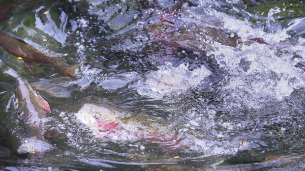 Water boils as trout in the display pool of the Ngongotahā Trout Hatchery fight for fish food.