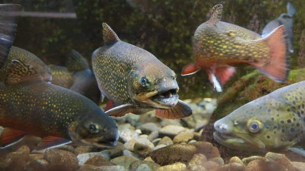Brook char, tiger trout, rainbows and browns on display at the Ngongotaha Trout Hatchery.