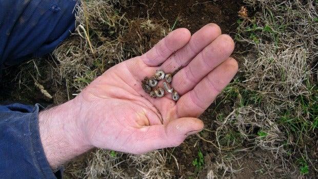 Grass grubs found in a South Taranaki farm.