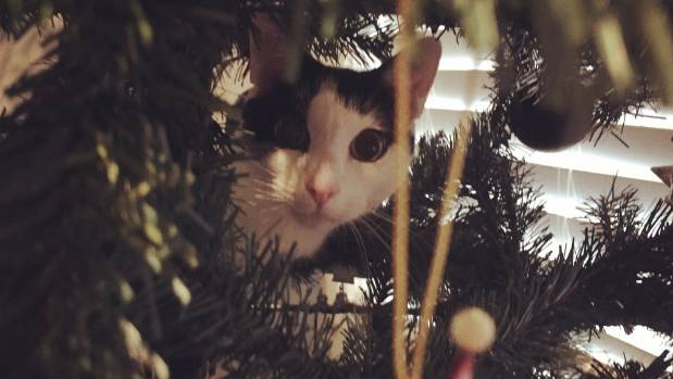 Any tree is a good one for climbing - especially the Christmas tree.