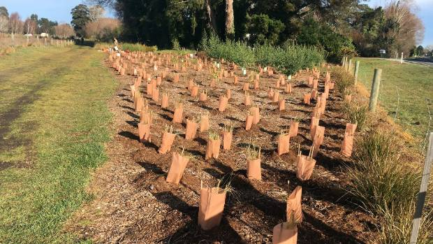 Volunteer work on the Silverstream Reserve has resulted in thousands of native trees planted.