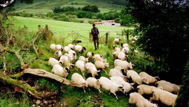 A Scottish hill farmer tends to his flock of sheep. UK farmers have bemoaned New Zealand imports as threatening their