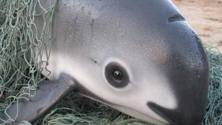 The vaquita, the world's smallest cetacean, is found only in the Gulf of California, and is on the brink of extinction.