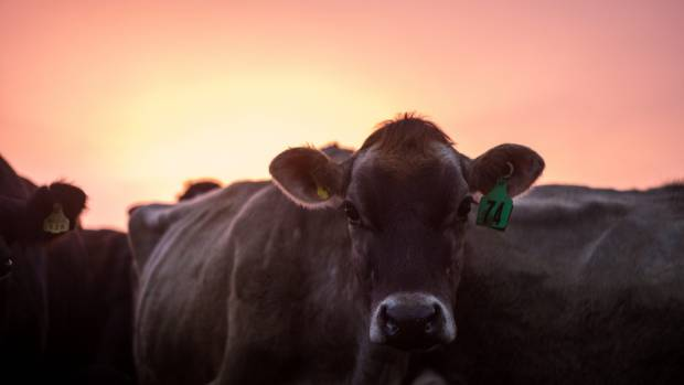 About 4000 cattle worth up to $8 million will be slaughtered to halt the spread of the cattle disease Mycoplasma bovis.